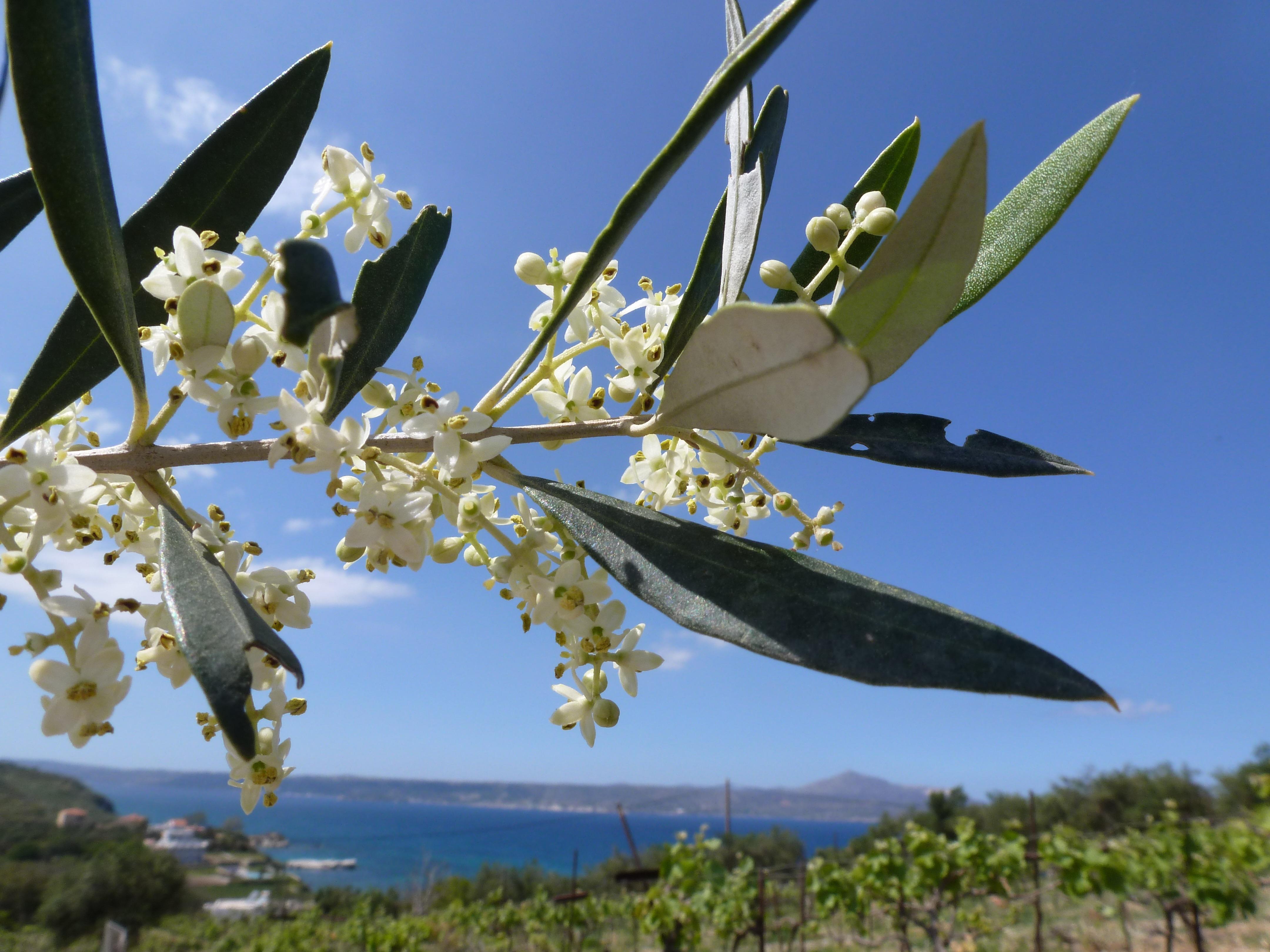 Olivenblüte b